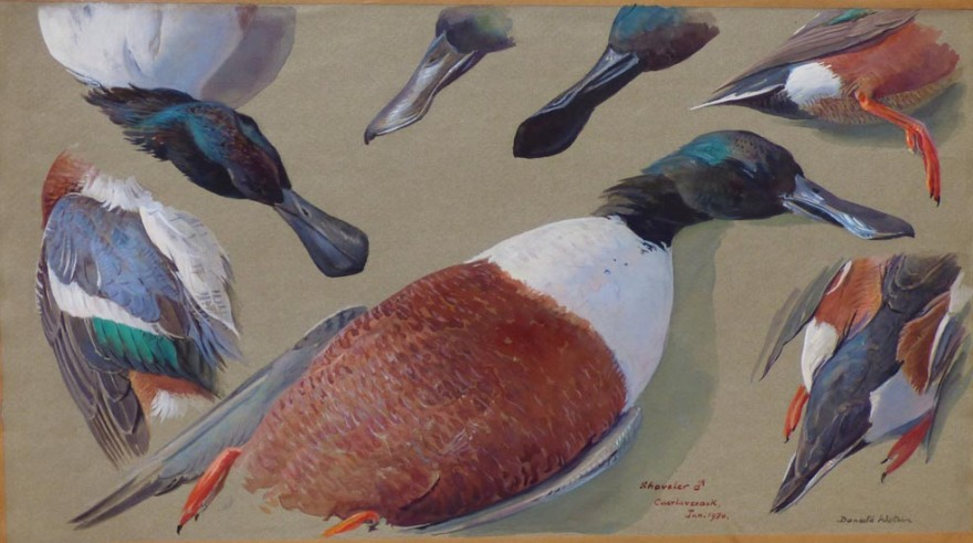 Studies of a Drake Shoveler